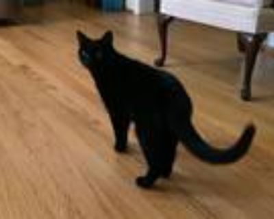 Adopt Daisy a Black (Mostly) American Shorthair / Mixed (short coat) cat in