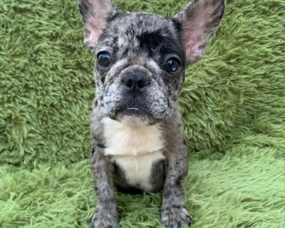 French Bulldog Puppy for Sale - Merle Cookie