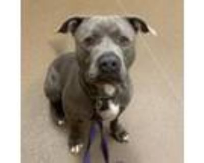 Adopt Timone a Gray/Silver/Salt & Pepper - with Black Pit Bull Terrier / Mixed