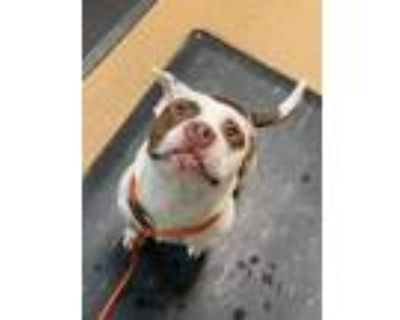 Apollo (east Campus), American Staffordshire Terrier For Adoption In Louisville