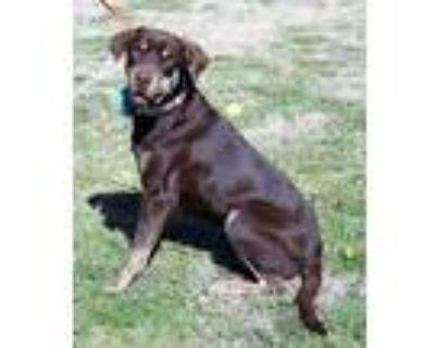 Adopt Jennifer a Labrador Retriever, Shar-Pei