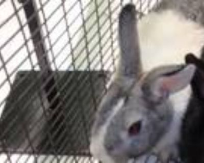 Adopt HOBBIT a Bunny Rabbit