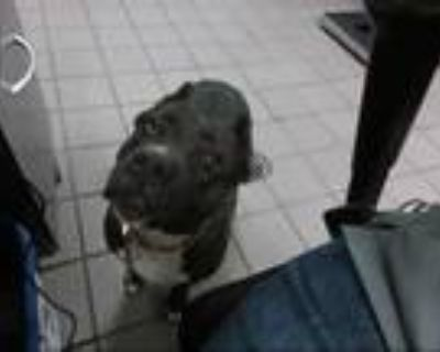 Adopt APRIL a Black American Pit Bull Terrier / Mixed dog in Albuquerque