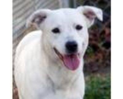 Adopt Chai a White Labrador Retriever / Cattle Dog dog in Hampton, VA (30146329)
