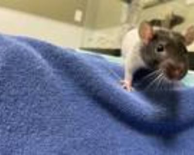 Adopt Bandit a White Rat / Mixed small animal in Boulder, CO (31155536)