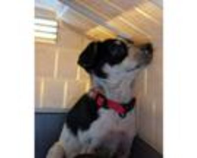 Adopt Harper a Tricolor (Tan/Brown & Black & White) Blue Heeler / Mixed dog in