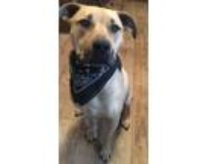 Adopt Enzo a Tan/Yellow/Fawn - with Black American Pit Bull Terrier / Treeing