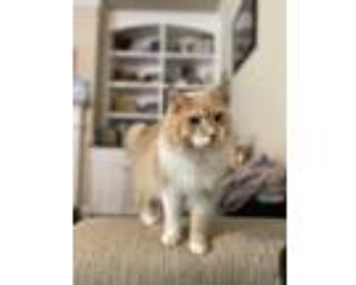 Adopt Simba a Orange or Red (Mostly) Maine Coon / Mixed (long coat) cat in