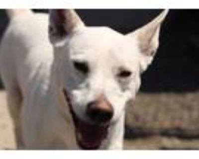 Adopt Moby a White Husky / Terrier (Unknown Type, Medium) / Mixed dog in