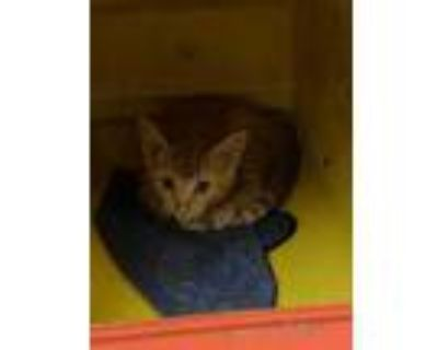 Adopt Raccoon a Orange or Red Domestic Shorthair / Domestic Shorthair / Mixed