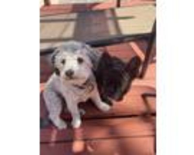 Adopt Oliver a Gray/Silver/Salt & Pepper - with White Poodle (Toy or Tea Cup) /