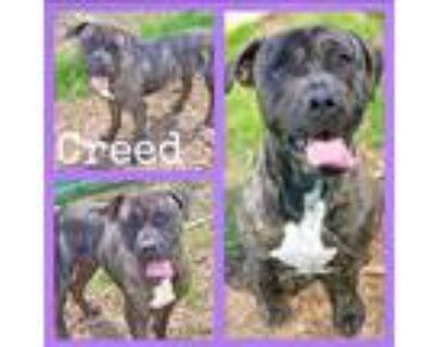 Adopt Creed a Brindle Boxer / Plott Hound / Mixed dog in Sautee, GA (30982802)