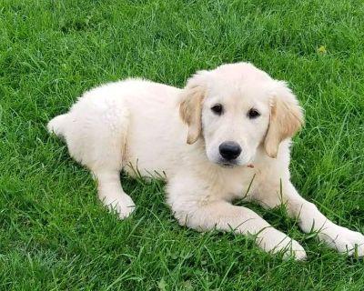 Purebred Golden Retriever Puppy For Sale