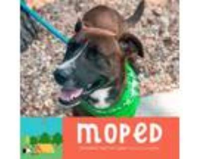 Adopt Moped a Labrador Retriever