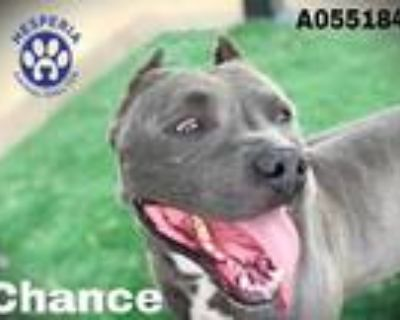 Adopt CHANCE a Gray/Silver/Salt & Pepper - with White American Pit Bull Terrier