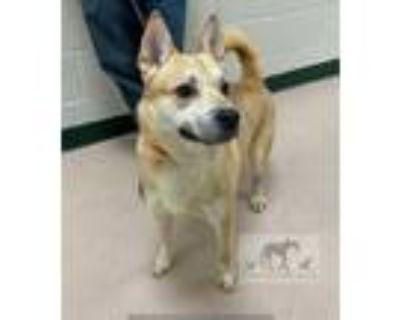 Adopt ROMEO a Tan/Yellow/Fawn German Shepherd Dog / Labrador Retriever / Mixed