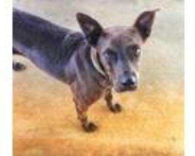 Adopt Ace a Labrador Retriever