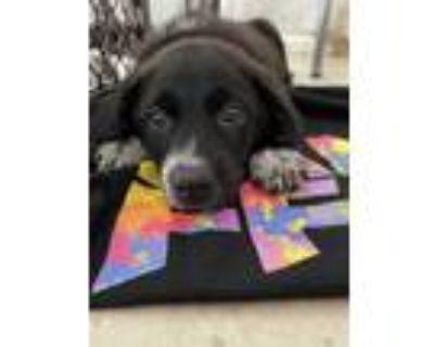 Adopt Champ a Black - with White Border Collie / Labrador Retriever / Mixed dog