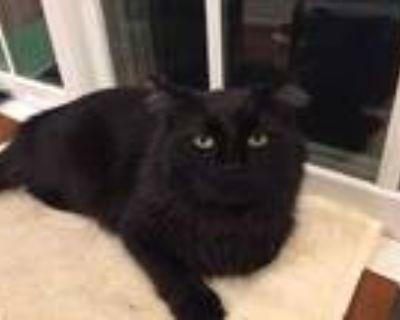 Adopt Church a All Black Domestic Shorthair / Domestic Shorthair / Mixed cat in