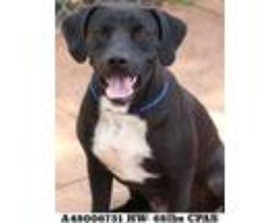 Adopt Deuce a Black Labrador Retriever / Mixed dog in Shreveport, LA (31933638)