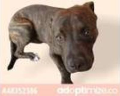Adopt 48352386 a Brindle American Pit Bull Terrier / Mixed dog in El Paso
