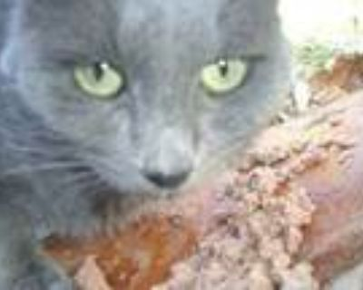 Stormy-sponsorship Only, Russian Blue For Adoption In West Los Angeles