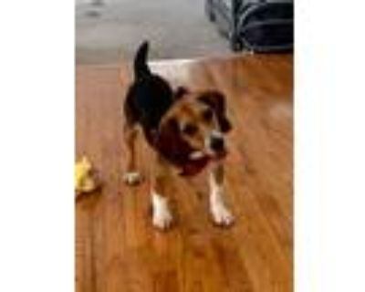 Adopt Shiloh - formerly Snoopy Talbot- adorable beagle a Beagle