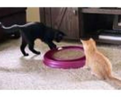 Adopt Kittens - Brody and Daisy a Domestic Short Hair