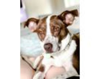 Adopt Dallas a Brown/Chocolate - with White Cattle Dog / Border Collie / Mixed