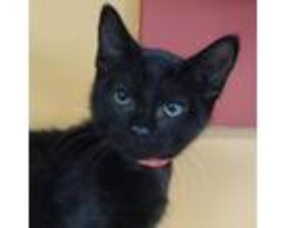 Adopt Bert -$50 a American Shorthair, Domestic Short Hair
