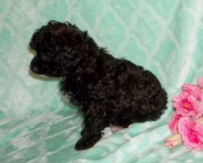 AKC Reg Poodle puppies