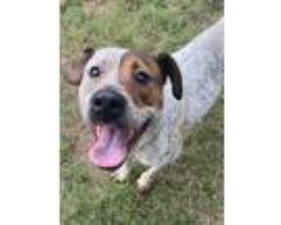Adopt Osceola a Australian Cattle Dog / Blue Heeler
