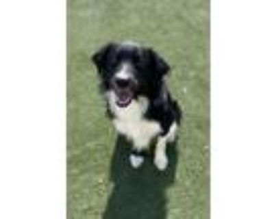 Adopt Scout a Border Collie, Mixed Breed