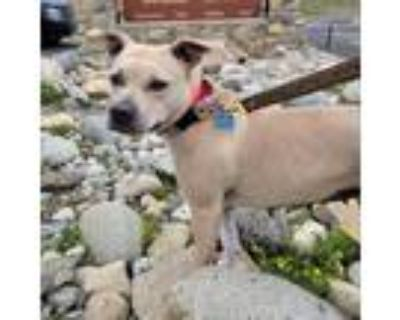 Adopt Angel a Tan/Yellow/Fawn Pit Bull Terrier / Mixed dog in Raytown