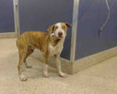 Adopt BAR a White - with Brown or Chocolate Labrador Retriever / Mixed dog in