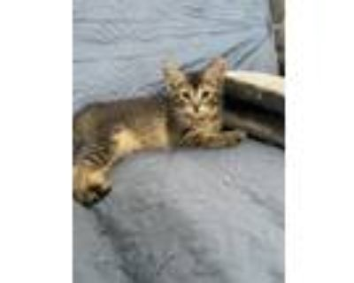 Adopt Ansel a Brown Tabby Domestic Shorthair / Mixed cat in Los Lunas