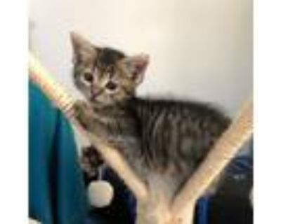Adopt Freddy a Gray or Blue Domestic Shorthair / Mixed cat in Temecula