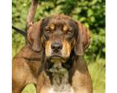 Adopt Winslow a Hound, Mixed Breed