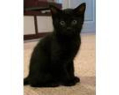 Adopt Branch a All Black Domestic Shorthair (short coat) cat in Kennesaw