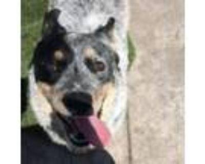 Adopt Diego a Australian Cattle Dog / Blue Heeler