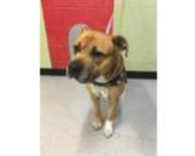 Adopt MURPHY a Brown/Chocolate - with White Boxer / Mixed dog in Indianapolis