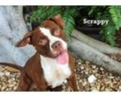 Adopt SCRAPPY a Pit Bull Terrier