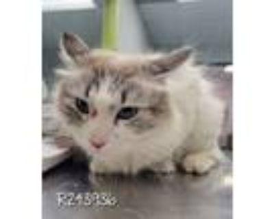 Adopt R243936/ Marshmallow a Siamese