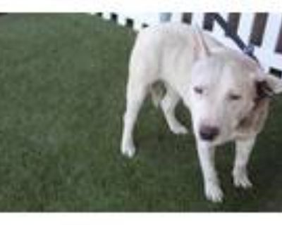 Adopt a White Bull Terrier / Mixed dog in Modesto, CA (31668417)