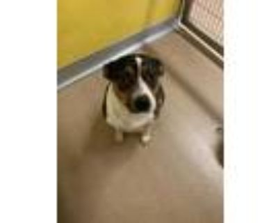 Adopt Cantaloupe* a Brown/Chocolate Jack Russell Terrier / Mixed dog in