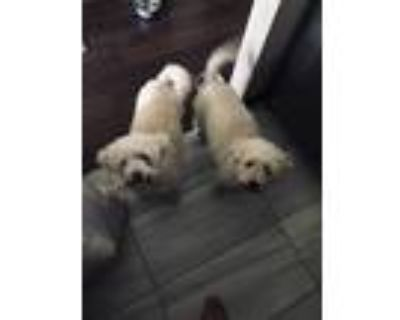 Adopt Boone & Bobby a White - with Gray or Silver Poodle (Standard) dog in