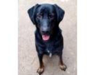 Adopt Dimer a German Shepherd Dog, Rottweiler
