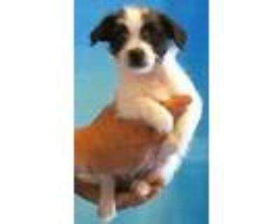 Adopt 159538 a Black Shih Tzu / Mixed dog in Bakersfield, CA (31543953)