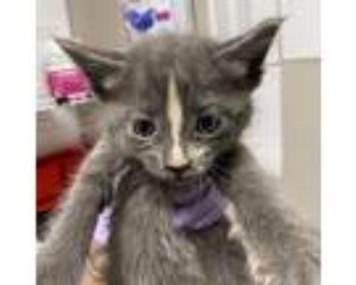 Adopt Anna a Gray or Blue Domestic Mediumhair cat in Yuma, AZ (31256282)