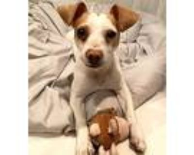 Adopt Quest a Tan/Yellow/Fawn - with White Terrier (Unknown Type